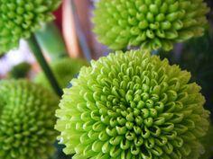 Orange Julius recipe for summer :) jase-and-nat Wedding Flower Inspiration, Wedding Flowers, Flowers Nature, Beautiful Flowers, Orange Julius, Outdoor Plants, Chrysanthemum, Cut Flowers, Lawn And Garden