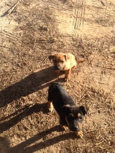 Hi, I'm Dallas and my brother Clayton and I are looking for a forever home.  I'm the cute little black puppy in the picture and Clayton lis the cute little brown one.  Our foster daddy found us on the side of the road in Clayton, Alabama and brought...