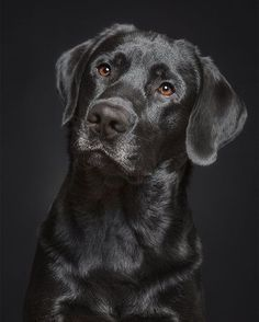 Labrador Retriever Black Canine And Puppies Labrador Retrievers, Labrador Retriever Negro, Schwarzer Labrador Retriever, Labrador Noir, Golden Retriever, Retriever Puppy, Cute Lab Puppies, Cute Dogs, Dogs And Puppies