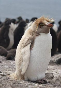 Leucistic Rockhopper Penguin.  This famous little guy is beige instead of black because of reduced skin pigmentation.