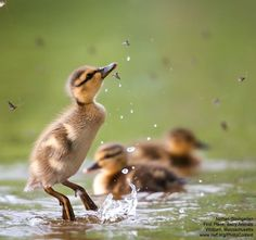 Oh my gosh, baby duck, you go for it! Incredible photo of a baby duck jumping to catch bugs to eat.