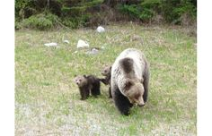 Mother grizzly and cubs force traffic control measures in Kootenay National Park