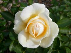 Rose-J. yr Own Root-Hardy Organic Fragrant Roses St Anne, Home Garden Plants, Garden Roses, Fragrant Roses, Rose Bush, New Growth, Planting Seeds, Live Plants, Pink