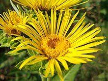 Elecampane - Wikipedia Planting Sunflowers, Planting Succulents, Pineapple Sage, Room To Grow, Growing Seeds, Herbal Medicine, Yellow Flowers, Perennials, Herbalism