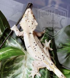 Name: Graverobber  Male Adult Crested Gecko  http://www.houseofnyne.com