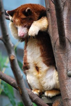 Matschie's Tree Kangaroo (Dendrolagus matschiei) | by W. Eckenrode