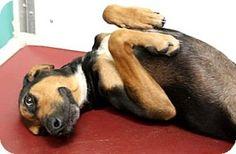 Bryan, TX - Hound (Unknown Type)/Shepherd (Unknown Type) Mix. Meet , a dog for adoption. http://www.adoptapet.com/pet/16005815-bryan-texas-hound-unknown-type-mix
