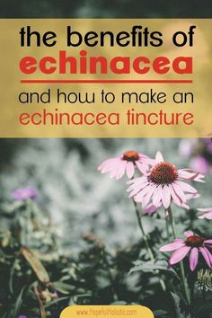 How to make a simple echinacea root and flower tincture for colds and fluThanks colleengfcf for this post.Making your own echinacea tincture is an easy way to stay healthy and recover from sickness quickly. Learn about echinacea benefits, the# colds Cold Home Remedies, Natural Home Remedies, Herbal Remedies, Health Remedies, Calendula Benefits, Lemon Benefits, Coconut Health Benefits, Tea Benefits, Ways To Stay Healthy