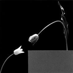 Robert Mapplethorpe - Two Tulips, 1984