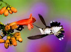 Ruby-Throated Hummingbird photo by Mike Matthews
