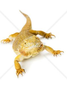 reptile, bearded dragon - Bearded dragon in a full length image