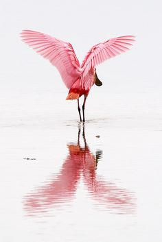 Roseate Spoonbill, Ding Darling National Wildlife Refuge, Sanibel Island, Florida, by Sean Crane Flamingo imitator. Pretty Birds, Beautiful Birds, Animals Beautiful, Pretty In Pink, Cute Animals, Photo Animaliere, Art Et Illustration, Sanibel Island, Tier Fotos