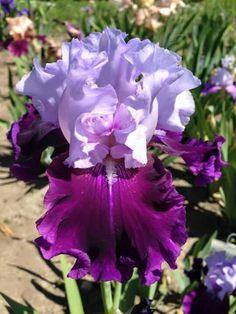 Muriel's Iris Garden