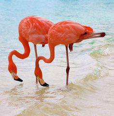 Caribbean Twins from aruba!  These elegant pink flamingos were strolling around the beach beside us!
