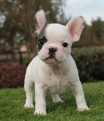 Beautiful French Bulldog Puppies French Bulldog Puppies Bulldog