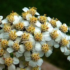 Yarrow | in North America and most other countries throughout the world. Yarrow ...