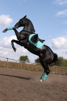 Love the turquoise with the black saddle, it blends really well with the horse's color