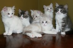 Kitten Album Litter R Siberian Kittens, Album, Cats, Animals, Gatos, Animales, Kitty Cats, Animaux, Cat