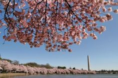 Washington D.C. in  the spring time when the cherry tress are blossoming.