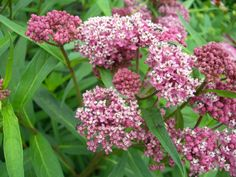 Asclepias incarnata Swamp Milkweed Not only a nectar source but also a host for the butterfly larvae. A must have in the butterfly garden English Landscape Garden, Butterfly Plants, Butterflies, Swamp Milkweed, Sun Perennials, Sandy Soil, Drought Tolerant Plants, Little Plants, Butterfly