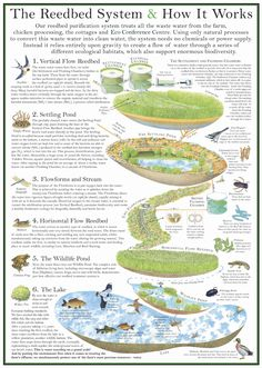 Large scale reed bed system with detailed explanation.  sheepdrove-reedbed-poster.jpg (1219×1712)