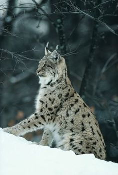The Iberian lynx: living in Spain this animal suffers from the disappearance of Chat Lynx, Lynx Boréal, Nature Animals, Animals And Pets, Cute Animals, Wild Animals, Baby Animals, Beautiful Cats, Animals Beautiful