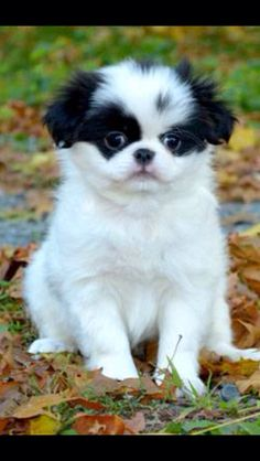 Japanese Chin Puppy-Zorro