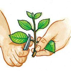 Éliminer les feuilles à la base de la bouture