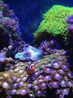nemo again by jeanrustine Ocean Colour Scene, Water Animals, Saltwater Tank, Marine Biology, Exotic Fish, Sea And Ocean, Underwater World, Ocean Life, Deep Sea