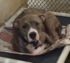Rutherford County NC - RESCUE TOOK PUPPIES & LEFT MAMA BEHIND!!! ID #A032907 Female, about 2 years old, tan brindle Pit Bull OWNER SURRENDER Nov 16, 2015 Contact 828-287-7738. VIDEO: https://www.facebook.com/photo.php?v=922681917811774 https://www.facebook.com/112039238876050/photos/a.870215069725126.1073741875.112039238876050/920053108074655/?type=3&theater