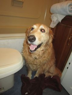 Guinevere hiding behind the toilet in our motor home; she's afraid of the thunder.