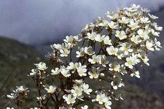 Flora en el Parque Nacional de Ordesa y Monte Perdido. Corona de rey