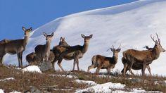 Scottish wildlife: Scotland's Best B&Bs: 4 & 5 star accommodation #scotland #wildlife #scottish #animals #deer
