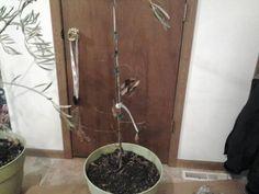 growngive avocado tree barely alive on 2416. Back outside soon!!!