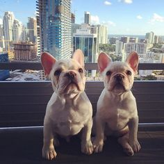 Little pups, big dreams, Magic City  #rockyandromy #miamifrenchies #worldanimalday