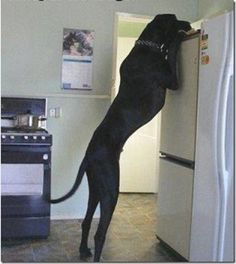 Huge Great Dane! I've seen this pic before and it still astounds me. I love big dogs!❤️