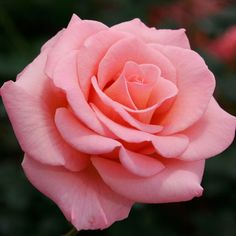 ROSES IMAGES HYBRID TEA - Google Search - Gardening Timing