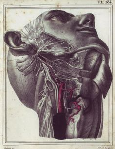[][][] Jules Cloquet, 1825, from Manuel d'anatomie descriptive du corps humain  Dissection of the neck, deep dissection, showing facial nerve (cranial nerve VII), glossopharyngeal nerve (cranial nerve IX), vagus nerve (cranial nerve X), and carotid arteries. Neck muscles divided and reflected to show cranial nerves, superior and cervical ganglion, carotid arteries, and cervical spinal nerves. Anterio-lateral view.
