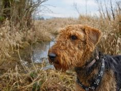 airedale: Airedale terrier dog standing in front of water and wheat field.