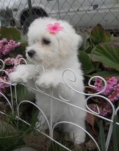 Sweet little Bichon... Looks exactly like my pup, Baby Girl, a/k/a Princess Fluffy Butt
