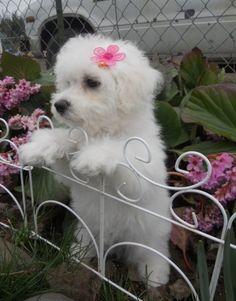 Sweet little Bichon...