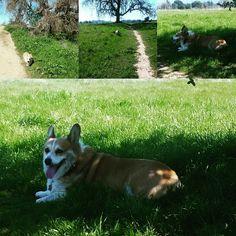 Exercise Husky, Corgi, Park, Exercise, Animals, Ejercicio, Animais, Corgis, Excercise