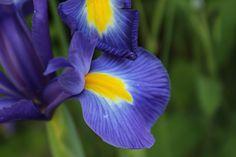 Iris de Holanda.
