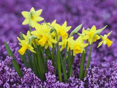 Yellow Daffodils with Purple Flowers Flower Garden, Bloom, Plants, Purple, Daffodils, Daffodil Flower, Beautiful Flowers, Spring, Love Flowers