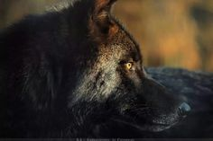 """wolveswolves: """"Male Eastern wolf (Canis Lupus Lycaon) by Khalliysgraphy """" Wolf Photography, Wildlife Photography, Portrait Photography, Wolf Life, Timber Wolf, She Wolf, Wolf Spirit, Spirit Animal, Mule Deer"""