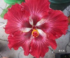 Tahitian Flaming Dragon