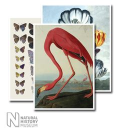 Wall Hangings of Greater Flamingo, Phownicopterus Ruber by Natural History Museum (1000mm x 1250mm) | Shop | Surface View