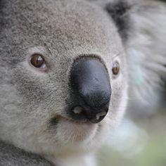 Contentbär *in's Flowpage Animals And Pets, Baby Animals, Cute Animals, Wombat, Animals Beautiful, Kangaroo, Fur Babies, Best Friends, Koala Bears