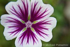 Purple & White Flower Close-up   Flickr - Photo Sharing!