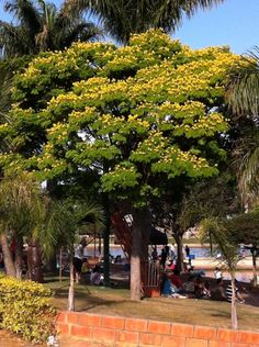 Sibipiruna: Flora da Mata Atlântica, Brasil.